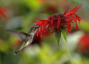 A female ruby-throated hummingbird (Archilochu...