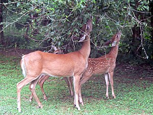English: A pair of (Odocoileus virginianus) gr...