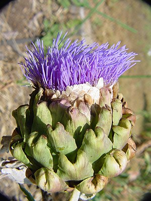 Artichokes do bloom when ignored.