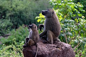 Baboon and its mother on a rock, photographed ...