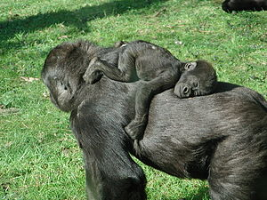 Baby gorilla having a sleep on his mother