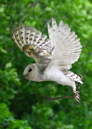 Barn Owl in flight at Lone Pine Koala Sanctuary