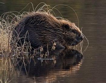 English: A European Beaver.