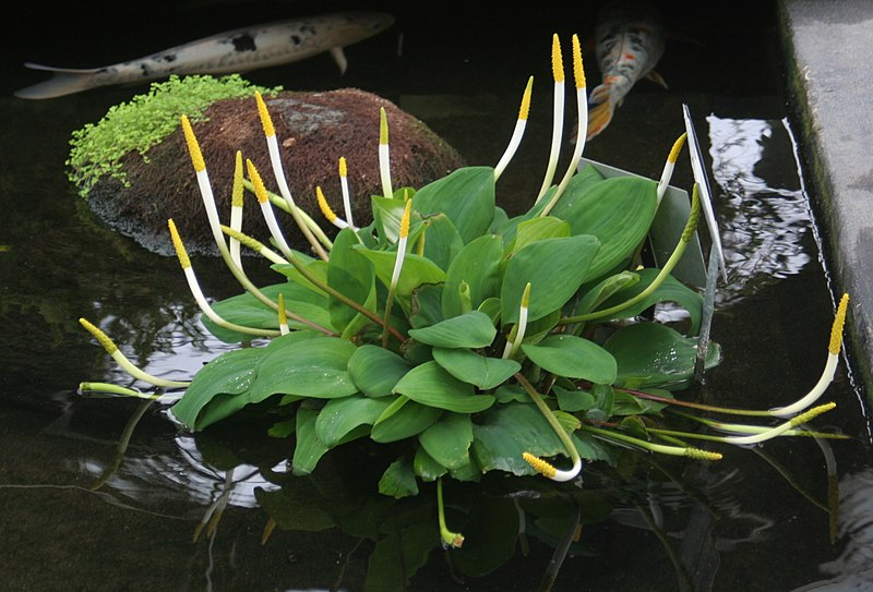 Hardy Aquatic Plants