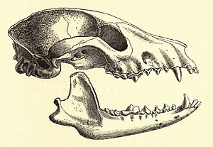 An illustration of a racoon dog skull
