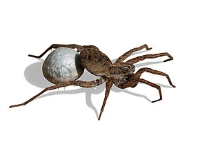 English: Wolf Spider carrying egg sac. Masked ...