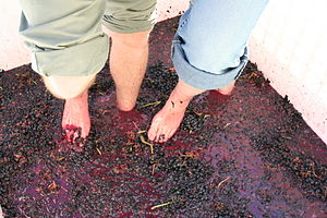 Stomping grapes to crush them as part of the w...
