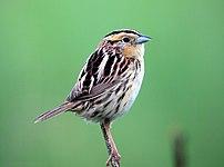 Le Conte's Sparrow (Ammodramus leconteii)), Ph...