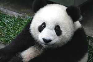 Close up of a cute baby 7-month old panda cub ...