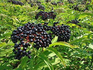 Ripe berries on Sambucus Ebulus (Dwarf Elder) ...