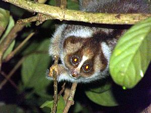 English: Slow Loris in Sabah, Borneo
