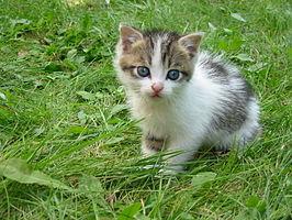 Huiskat (Felis catus)