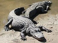 Two American Alligators (Alligator mississippi...