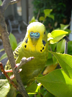 A picture of my budgie in a bush