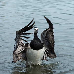 English: Barnacle Goose at Helsinki. Suomi: Va...