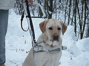 Guide dog from Veiviseren Norway, førerhund fr...