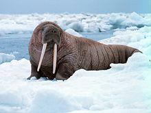 Noaa-walrus22.jpg