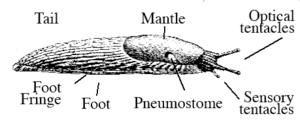 English: Parts of a slug Español: Anatomía de ...