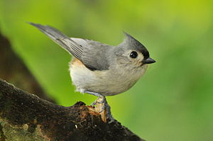 Tufted Titmouse, West Road