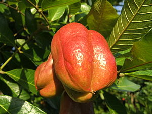 Photo of closed Ackee (Blighia sapida) fruit o...
