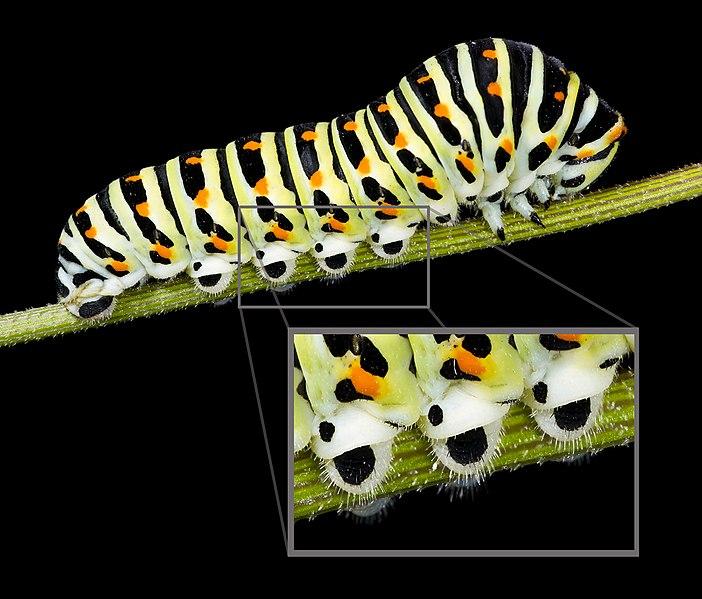 Caterpillar legs