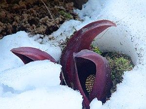 English: Eastern Skunk Cabbage Takemori Koshu-...