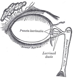 A diagram showing the lacrimal apparatus