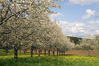 File:Kirschblüte Fränkische Schweiz SK 0001.jpg