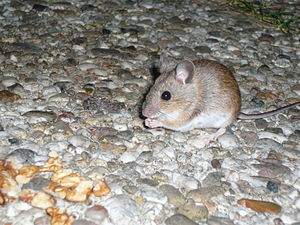 English: A House Mouse while eating pieces of ...