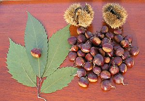 American Chestnut Nuts with Burrs and Leaves. ...