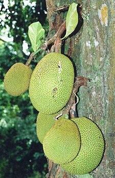 Frutos del árbol del jack