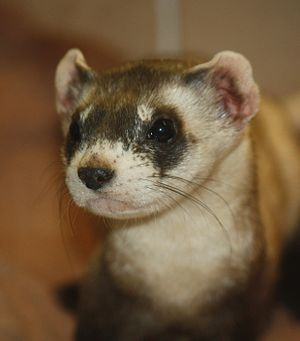 Black-footed Ferret Mustela nigripes at Louisv...