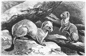 Hermelijn (Putorius erminea) in zijn winterklee...