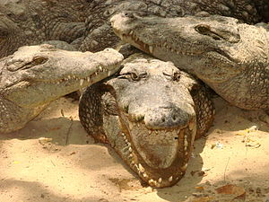 English: Crocodiles at the Crocodile Bank, out...