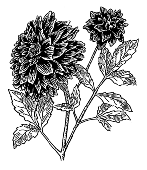 English: Line art drawing of a dahlia.