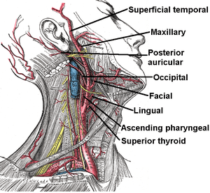 The External carotid artery arises in the caro...