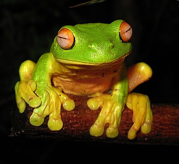 English: The Red-eyed Tree Frog (Litoria chlor...