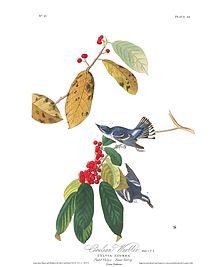 """""""Azure Warbler"""" in Birds of America"""