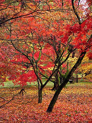Acer Glade Westonbirt 2004. The acers in 2004 ...