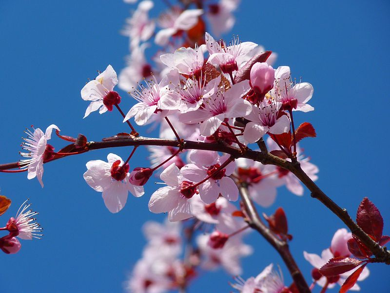 File:Cherry Blossom.jpg