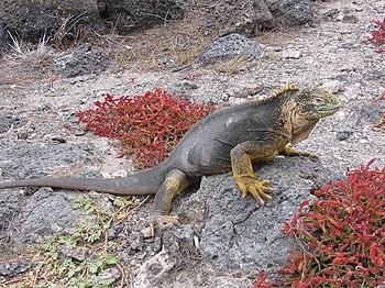 English: An Iguana at Galápagos.