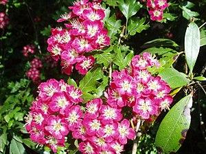 English: Hawthorn blossom. Dazzlingly coloured...