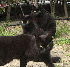 Trio of black cats. Click for source.