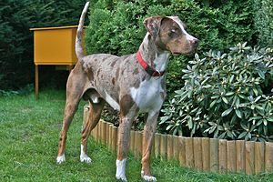 Louisiana Catahoula Leopard Dog - Red Leopard ...