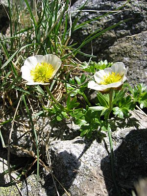 Ranunculus glacialis, one of the white-floweri...