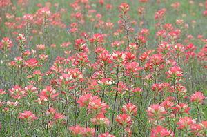 Field of Texas Indian Paintbrushes Castilleja ...