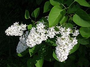 Deutsch: Blüten eines weißen Flieders (Syringa...