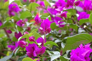 Purple bougainvilleas.