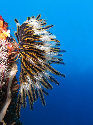 https://i1.wp.com/upload.wikimedia.org/wikipedia/commons/thumb/d/d2/Crinoid_on_the_reef_of_Batu_Moncho_Island.JPG/360px-Crinoid_on_the_reef_of_Batu_Moncho_Island.JPG