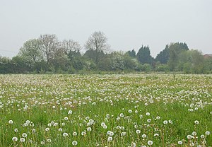 English: Dandelion clocks near Long Itchington...